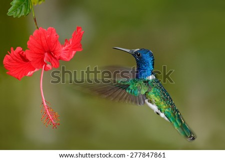 Hummingbird White-necked Jacobin, Florisuga mellivora, flying next to beautiful red hibiscus flower with green forest background, Tandayapa, Ecuador - stock photo
