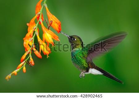 Hummingbird with orange flower. Flying hummingbird, Hummingbird in fly. Action scene with hummingbird. Hummingbird Tourmaline Sunangel eating nectar from beautiful yellow flower in Ecuador - stock photo