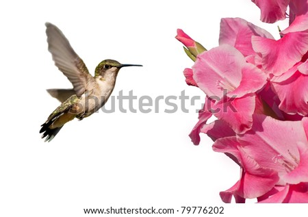 Hummingbird with pink Gladiolus flowers on white - stock photo
