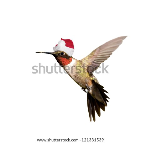 Hummingbird with Santa hat celebrating Christmas,  isolated on white background - stock photo