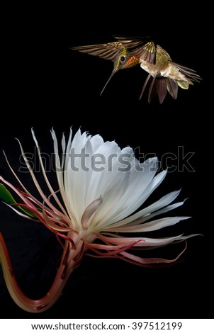 Hummingbird with tropical flower over black background vertical image - stock photo