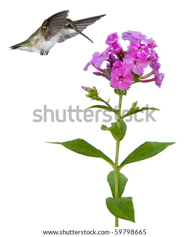 hummingbird with wings over head and beak floats ovef a pink phlox; white background - stock photo