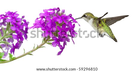 hummingbirds drinks nectar from a purple verbena; white background - stock photo