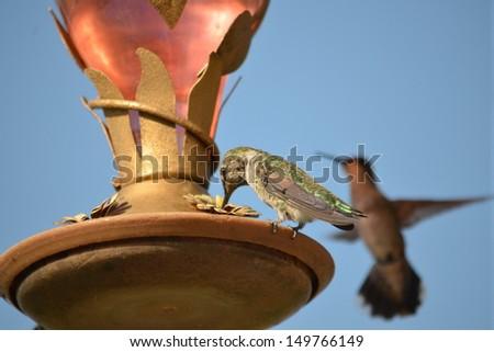 Hummingbirds feeding - stock photo