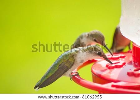 Hummingbirds home for dinner, eating nectar at the feeder - stock photo
