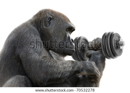 Humorous concept shot of a gorilla on white training with a heavy dumbbell, symbolizing great strength