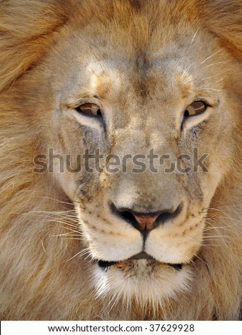 humorous creative picture of lion with eyes crossed - stock photo