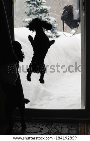 Humorous image of a black toy poodle jumping excitedly at the sliding glass door, as his owner returns home on a snowy winter day. - stock photo