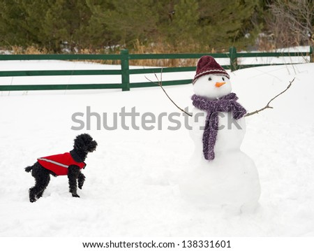 Humorous image of a toy poodle cautiously examining a snowman  that has appeared in his yard in the winter. - stock photo