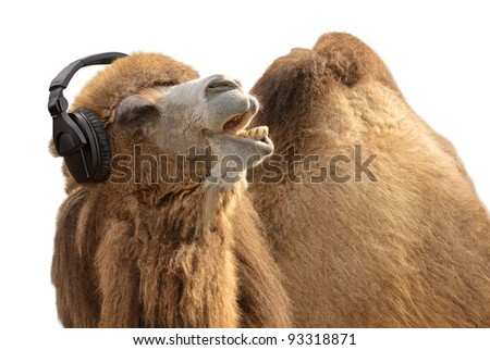 Humorous shot of a camel listening to music and singing along passionately - stock photo