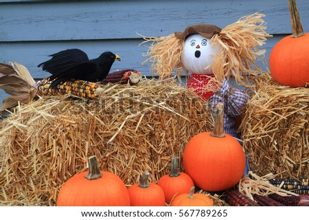 Humorous Thanksgiving picture - scarecrow guarding pumpkins and corn, is surprised by a crow eating corn in front of him