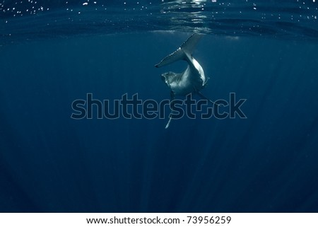 Humpback Calf Swimming Away Surrounded by Light Rays - stock photo