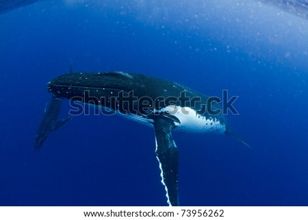 Humpback Mother with Calf