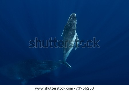Humpback Mother with Calf surrounded by light rays - stock photo