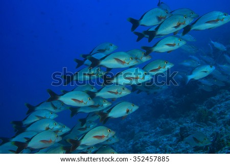 Humpback red snappers (Lutjanus gibbus) in the tropical coral reef of the maldives