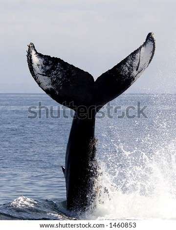 Humpback Tail Slap