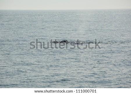 Humpback Whale - stock photo