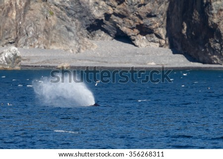 Humpback whale blows - stock photo