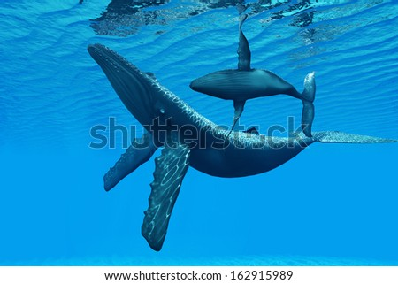 Humpback Whale Bonding - A Humpback Whale calf swims around its mother in a graceful ocean dance. - stock photo
