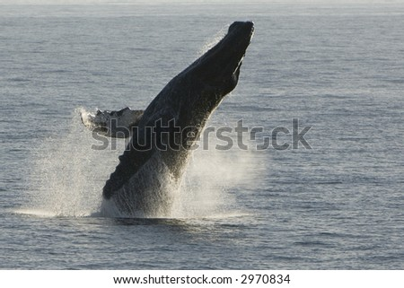 Humpback Whale Breach