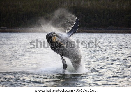 Humpback Whale Breach. Visible background noise.  - stock photo
