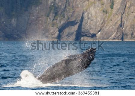 Humpback whale breaching  - stock photo