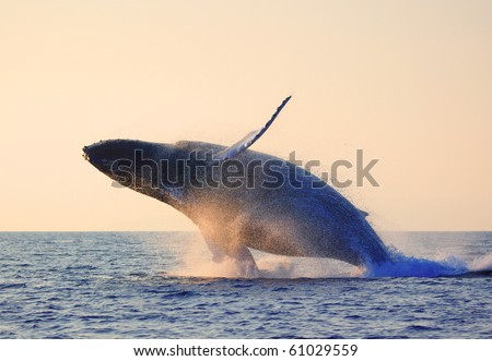 humpback whale breaching - stock photo
