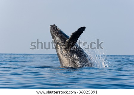 humpback whale breaching in beautiful morning light maui, hawaii - stock photo