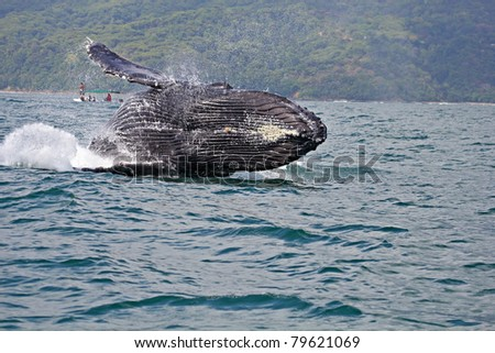 Humpback whale breaching in Marino Ballena National Park, Costa Rica - stock photo