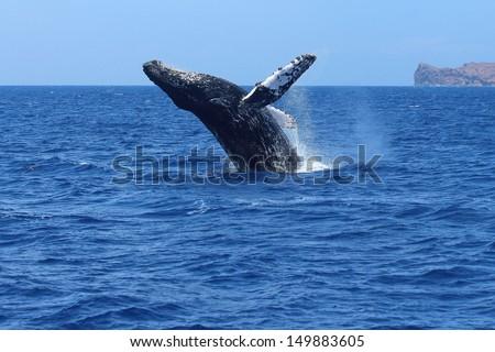 Humpback whale breaching in Maui, Hawaii. Megaptera novaeangliae - stock photo