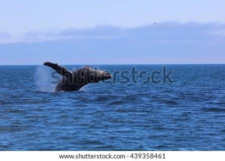 Humpback whale breaching Kenai Fjords National Park Alaska - stock photo