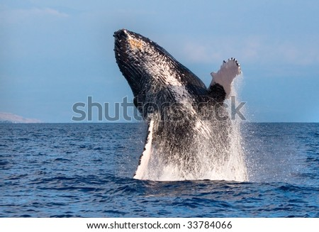Humpback Whale Breaching out of the water in maui, hawaii - stock photo