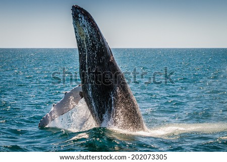 Humpback Whale Breaching, Western Australia, 2 of 7 - stock photo
