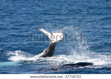 Humpback whale calf lying upside down splashing his tail in Hervey Bay, Queensland Australia. - stock photo