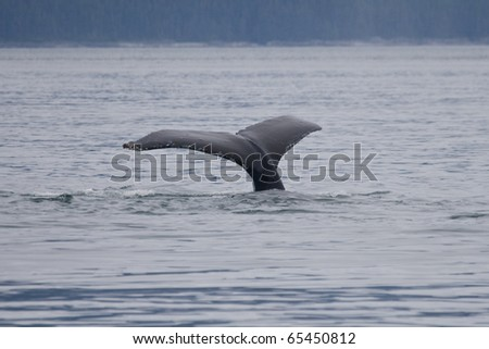 Humpback whale dives down near Point Adolphus, showing the fluke - stock photo