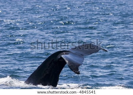 Humpback Whale diving and showing its tail after feeding near the surface - stock photo