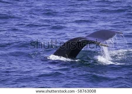 Humpback Whale diving in Cape Cod - stock photo