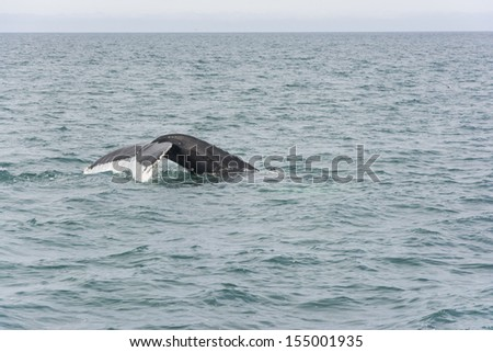 Humpback Whale diving. Megaptera novaeangliae