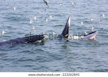 Humpback whale eating fish. - stock photo