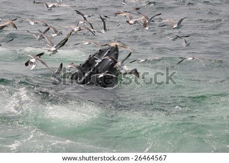 Humpback Whale Feeding on Krill - stock photo