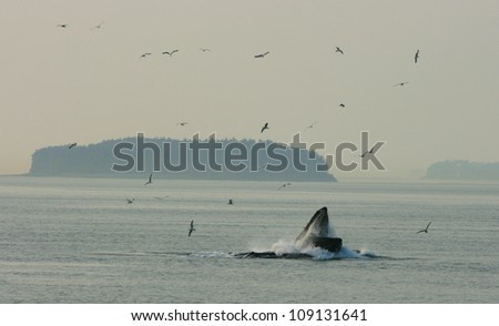 humpback whale feeding with seabirds above at sunset, Inside Passage near Juneau, Alaska, USA