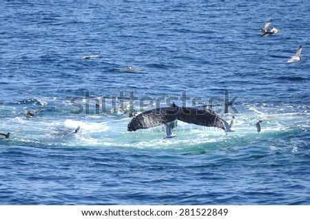 Humpback whale fin - stock photo