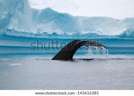 Humpback Whale Fluke - stock photo