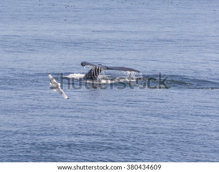 Humpback Whale Flukes Heading Down in Kenai Fjords National Park