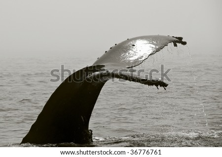 Humpback Whale fluking Tail - stock photo