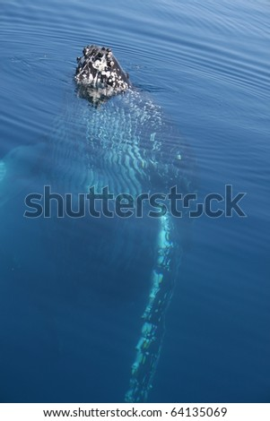Humpback Whale head out of water - stock photo