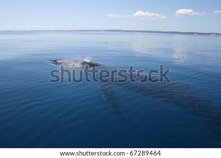 Humpback Whale, Hervey Bay, Australia glassy sea - stock photo