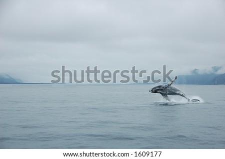 Humpback whale in Alaska - stock photo
