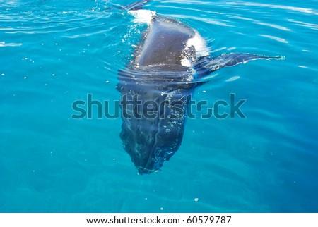 Humpback Whale in Australia - stock photo