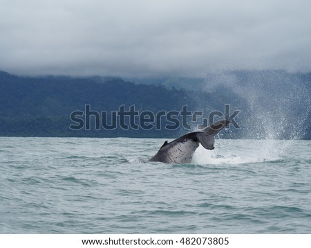 Humpback whale in Costa Rica, Uvita